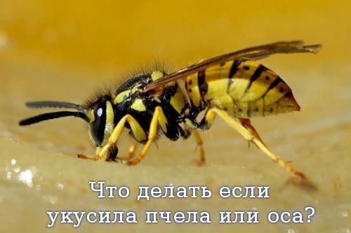 Что делать если укусила пчела или оса?