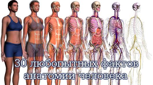 анатомии человека